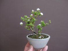 盆栽:皐月とかが咲く |春嘉の盆栽工房