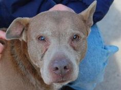 TO BE KILLED FEB 7! HURRY! Go to petfinder for info. YOU CAN STILL SAVE SUNNY! PLEASE PLEASE HURRY. SUNNY is an adoptable Pit Bull Terrier Dog in Brooklyn, NY.  ...