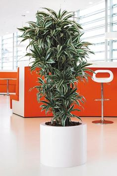 Dracaena Fragrans: Tolerates a wide range of indoor temperatures. Place in bright indirect light locations protected from direct sun and drafts. Tolerates some low light. Pot may be placed on a bed of wet pebbles to increase humidity. Use a loamy, peaty, well-drained potting soil. Keep soils uniformly moist during the growing season, but reduce watering from fall to late winter.
