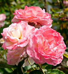 latticework roses california garden traditional home detail rosa flower rosa lovely lady - California Gardens Nursing Home