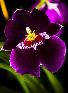 Miltonia orchid exotique And now her King ! Unusual Flowers, Unusual Plants, Rare Flowers, Most Beautiful Flowers, Exotic Plants, Pretty Flowers, Tropical Flowers, Colorful Flowers, Purple Flowers
