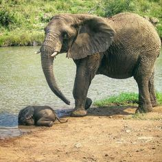 this photo made my day ; Oh my heart. !! .Credit : @wildbeautifulfree - These beautiful animals are incredibly intelligent patient compassionate and emotional Tag a friend who would like this For info about promoting your elephant art or crafts send me a direct message @elephant.gifts or emailelephantgifts@outlook.com . Follow @elephant.gifts for inspiring elephant images and videos every day! . . #elephant #elephants #elephantlove