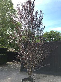 Prunus cerasifera 'Pissardii Nigra'