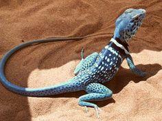 Collared lizard - Crotaphytus | Animalia Enthusiasts