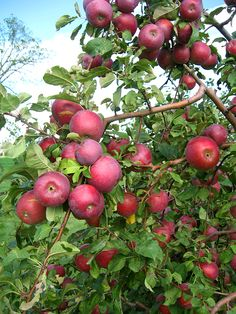 Red apples on tree Fruits And Vegetables Pictures, Vegetable Pictures, Fruits Photos, Fruit Plants, Fruit Garden, Apple Plant, Growing Fruit Trees, Apple Flowers, Valley Of Flowers