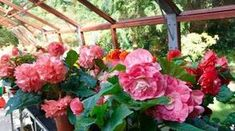 Pestujte begónie: Sú stvorené do tiena - Pluska. Begonia, Flowers, Plants, Balcony, Gardening, Terrace, Garten, Flora, Plant