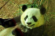 O panda gigante é um animal endêmico da China. Habita as regiões montanhosas…