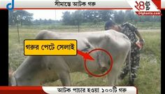 Bombs Found Inside Cows Body Near Naxalbari | Siliguri News and Updates