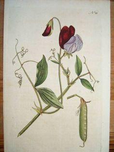 Antique Botanical Prints. The Sweet Pea. Curtis Botanical magazine.  Handcoloured copperplate engraving