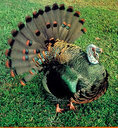 Strutting his Stuff!~Oscellated Turkey with its beautiful colored feathers, crazy dance & exotic gobble is a sight to see.