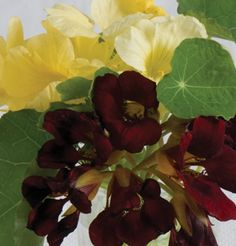 David's Garden Seeds Flower Nasturtium Night and Day (Multi Color) 25 Open Pollinated Seeds Garden Seeds, Garden Plants, Vegetable Garden, Summer Garden, Lawn And Garden, Labor Day Wedding, Sheep And Wool Festival, How To Attract Hummingbirds, Attracting Hummingbirds