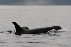 awesome A brand new calf for Southern Resident orcas Check more at http://vulza.com/a-new-calf-for-southern-resident-orcas/