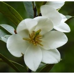 Michelia yunnanensis Velvet and Cream - PB5/6.5 (60/70)