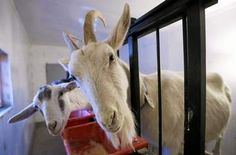 Mobile Web - Business - Got your goat's milk? America is drinking more and more of it