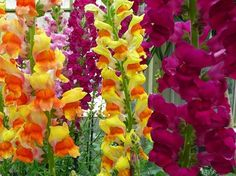 The Snapdragon flower is rich in varieties and are surely a good choice to grow…