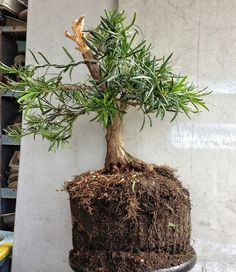 """Podocarpus  Bonsai.  Who knew you could hew yew?  this tells me that you can make a yew into anything you want, large or small.  This website has about 20 steps.     Use Google images to pull up """"podocarpus bonsai"""""""