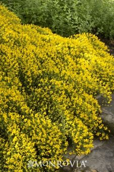 Lydia Woadwaxen - Genista lydia >> all over Central Oregon home landscapes.  Summer blooms, low water, slow growing to 1'-2' high, 3'-4' wide.