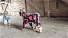 Baby goats jump around while wearing pajamas.