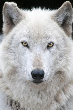 Beautiful Gray Wolf, Lonnie. Photo courtesy of Julie Lawrence Studios/Wolf Haven International