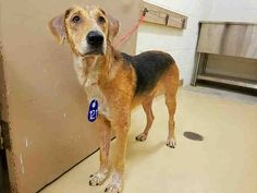 CARL - ID#A465414 My name is CARL I am a male, brown and white American Foxhound mix. The shelter staff think I am about 1 year old. I have been at the shelter since Aug 05, 2016. This information was refreshed 5 minutes ago and may not represent all of the animals at the Harris County Public Health and Environmental Services.