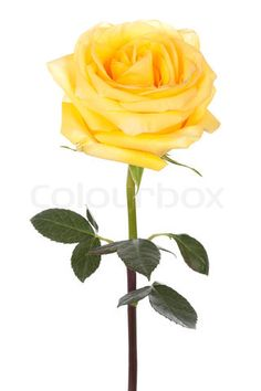 16 Best Yellow Roses Images Cute Tattoos Small Rose Tattoos