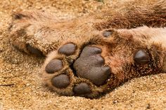 The paw of one of the Sparta Pride sub-adults. They were so bloated with wildebeest meat on this morning that I have seldom seen mor uncomfo...