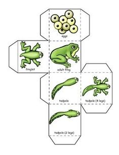 Frog life cycle learning cube, with graphing activities and a poetry word search. You can also get a frog life cycle emergent reader, posters and writing activities. Geared toward, preschool, kindergarten and first grade. Let's Learn S'more! Frog Activities, Graphing Activities, Writing Activities, Frogs Preschool, Preschool Science, Bee Life Cycle, Lifecycle Of A Frog, Frog Life, Frog Crafts