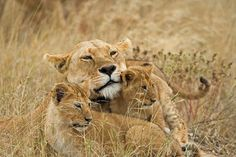 Serengeti National Park, Tanzania; A Lioness and Her Two Cubs.