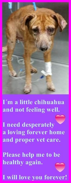 Sweet Geriatric Dog with Multiple Medical Problems, 1691809, Needs Rescue ASAP!!!! Medical on thread. SUGAR (A1691809) I am a female brown Chihuahua - Smooth Coated mix. The shelter staff think I am about 10 years old. I was turned in by my owner and I am available for adoption — Miami Dade https://www.facebook.com/urgentdogsofmiami/photos/pb.191859757515102.-2207520000.1429221941./963482557019481/?type=3&theater