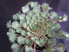 Amazing Unusual Plants To Grow In Your Garden Growing Succulents, Succulents In Containers, Cacti And Succulents, Planting Succulents, Planting Flowers, Unusual Plants, Rare Plants, Cool Plants, Succulent Gardening