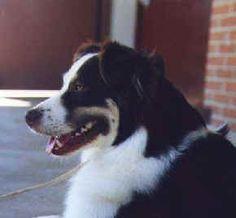 Liver red tri Aussie (Spooner) Aussie Dogs, Australian Shepherds, Aussies, Dna, Doggies, Animals, Aussie Shepherd, Little Puppies, Animales