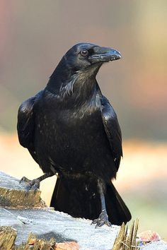 The Raven should be the Alaska State Bird. It's all we see in winter around here. Find a dumpster? You got a few Raven.