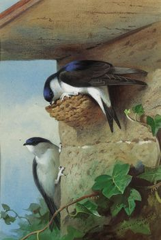 Naturalist Thorburn Birds Eurasian Magpies Counted Cross Stitch Pattern