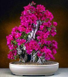 Bonsai beauty