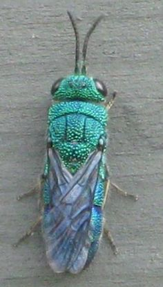 Turquoise Colored Flying Insect - Caenochrysis
