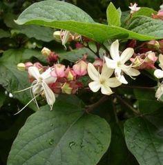 Sorsfa, Kései végzetcserje - fehér virágú,bimbós (60/80cm) (Clerodendrum trichotomum): Évelők | Ár: 3000.00 Ft