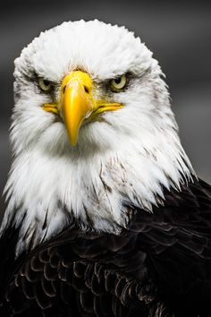 Black and white bald eagle head photograph. Eagle Images, Eagle Pictures, Animal Pictures, Beautiful Birds, Animals Beautiful, The Eagles, Bald Eagles, Eagle Face, Eagle Head