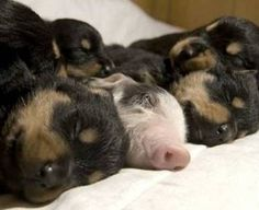 Doxies and a pig!!