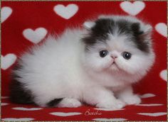 Persian Kittens For Sale - Bi-Color Persians - Cat Breeder In PA