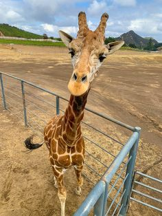 Meet Stanley the giraffe!  Wine tasting safari in Malibu? Yup, it exists. Check out our unusual LA excursion visiting and feeding animals with wine tasting in between at Malibu Wines! Things to do in Los Angeles | Best things to do in LA #losangeles #winetasting #wine