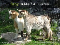 Information about our Miniature Silky Fainting Goat doe, San Sujo Halleys Comet, at GottaGoat Farm. Fainting Goat, Halley's Comet, Happy Dogs, Goats, Miniatures, Brown, Baby, Animals, Animales