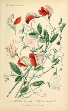 img/dessins plantes et fleurs jardins et appartements/dessin de fleur de jardin 0147 pois de senteur - lathyrus odoratus.jpg