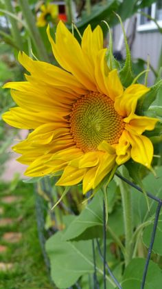 Small sunflower Small Sunflower, Sunflowers, Plants, Flora, Plant, Sunflower Seeds, Planting