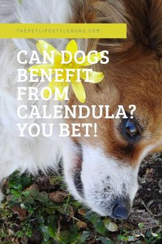 Calendula can help your dog thrive! Learn how to use it, get some recipes, and help keep your dog calm (and healthy)! Mans Best Friend, Best Friends, Dog Boarding, Calendula, Best Dogs, Canning, Pets, Beat Friends, Bestfriends