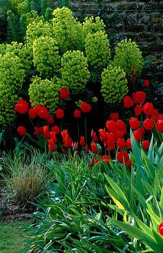 ~~fantastic garden texture and color contrast - Euphorbia characias subs wulfenii 'purple and gold', tulip 'queen of sheba' and red tulip by Clive Nichols~~
