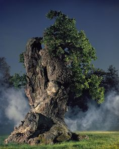 Oak at Blenheim Palace, in England.  Simon Norfolk