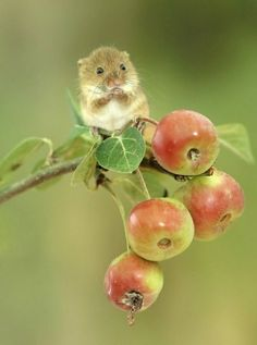 """pagewoman: """"Harvest mouse """" The Effective Pictures We Offer You About Rodents get rid of A quality picture can tell you many things. You can find the most beautiful pictures that can be presented to y Cute Creatures, Beautiful Creatures, Animals Beautiful, Cute Little Animals, Cute Funny Animals, Nature Animals, Animals And Pets, Harvest Mouse, Cute Mouse"""