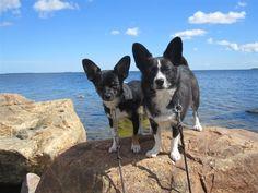Marie Anderssons älskade hundar Miqro och Mille