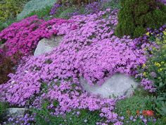 Creeping Phlox ground cover also comes in white and blue besides what is seen here. There is a variety native to Central Oregon so this does very well here. Phlox Plant, Moss Phlox, Phlox Perennial, Ground Cover Plants, Early Spring Flowers, Spring Blooms, Spring Perennials, Creeping Phlox, Perennials