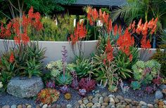 Colorful Aloe Elgonica (& other succulents) in the landscape